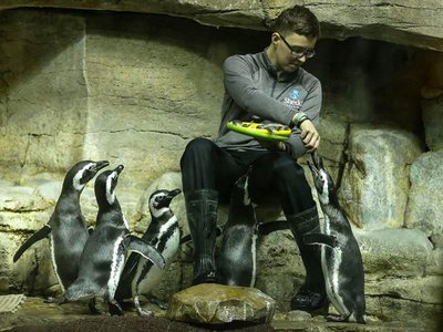 An animal care staff member at Chicago's Shedd Aquarium feeds some Magellanic penguins.