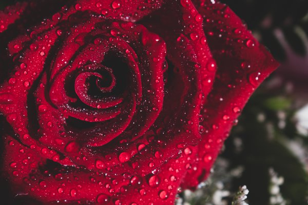 Rose by any other name thumbnail
