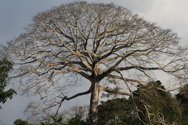 The mother tree of the Amazon thumbnail