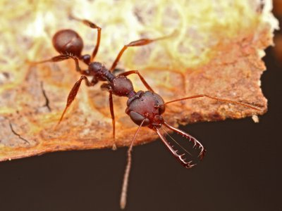 A member of the Myrmoteras genus of trap-jaw ants, with mandibles deployed.