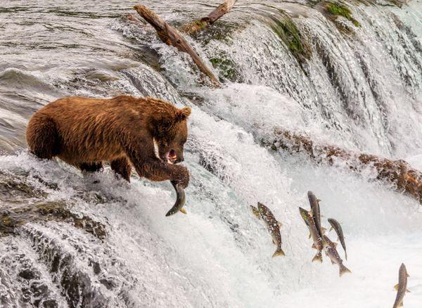 So many salmon, not enough paws! thumbnail