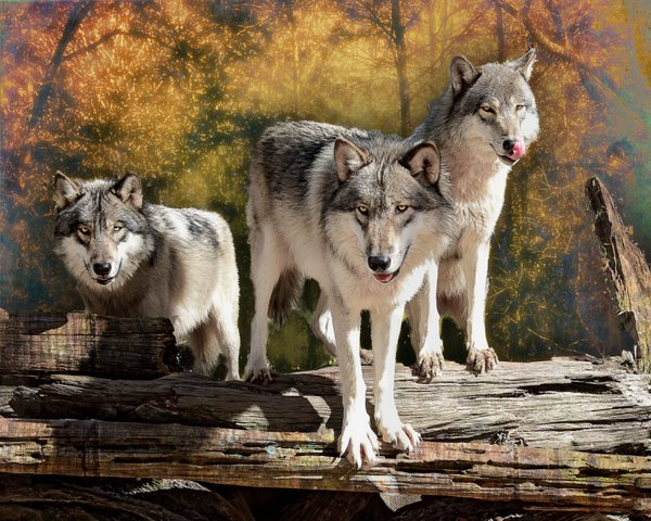 Half Pack of Timber Wolves thumbnail