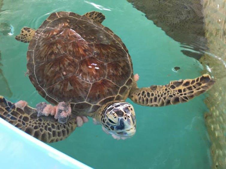 Should We Share Human Cancer Treatments With Tumorous Turtles?
