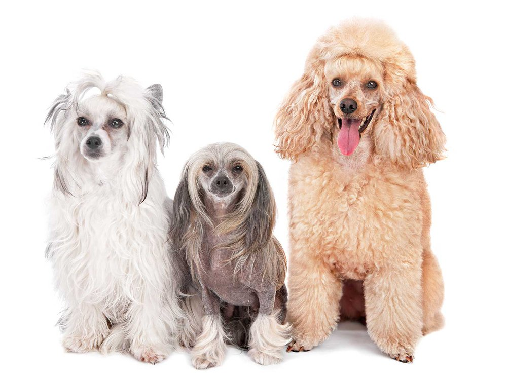 Three dogs sit at attention