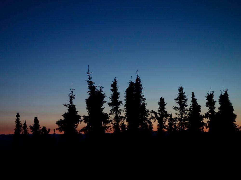 Black Spruce Trees, Fairbanks, Alaska, United States, North America