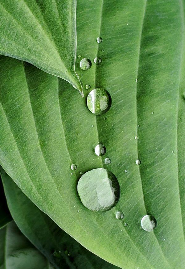 Raindrop pattern on a Hosta thumbnail
