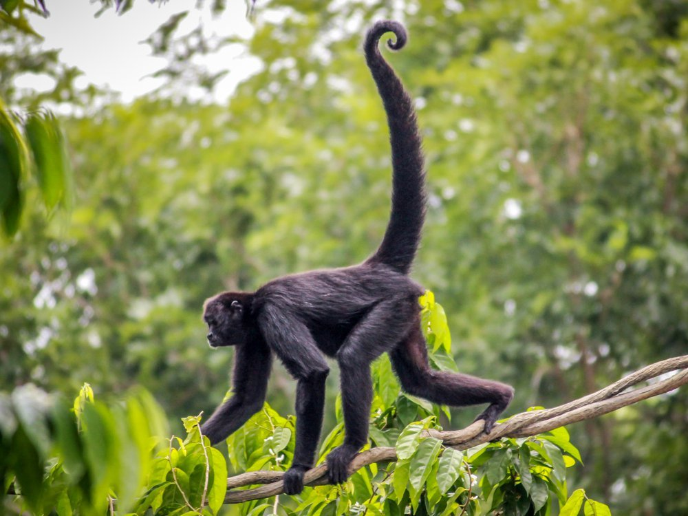 A black spider monkey walks across and branch against a green backdrop