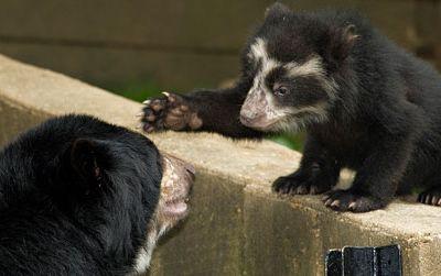Adorable andean bear cubs