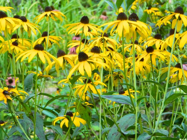 daisies in the sun thumbnail