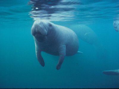 A Florida manatee swimming near the surface.