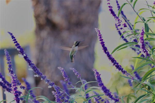 Hummingbird at Santa Ines Mission CA thumbnail