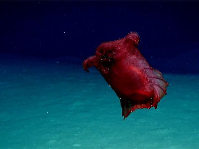 """The """"headless chicken monster"""" is actually a type of sea cucumber."""