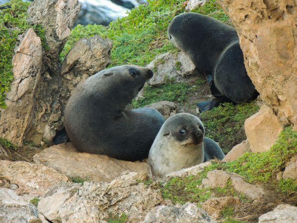New Zealand fur seal pups thumbnail