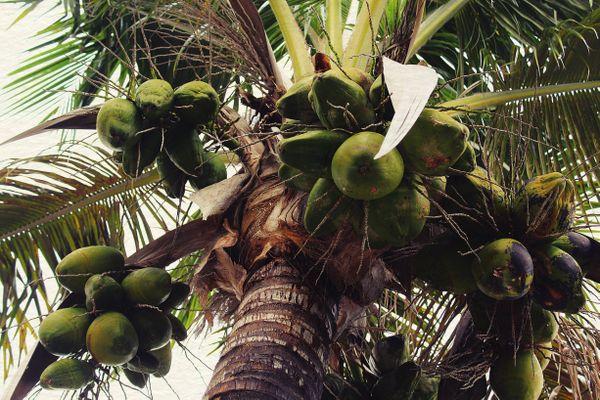 Coconut tree by the beach. thumbnail