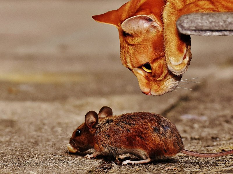 cat-sniffing-mouse.jpg