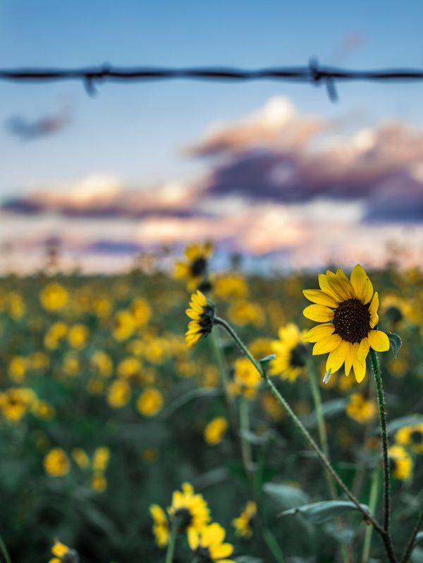 Sunflower Sunset  thumbnail