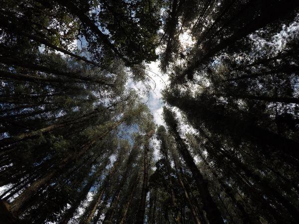 Bosque de Pinos. thumbnail
