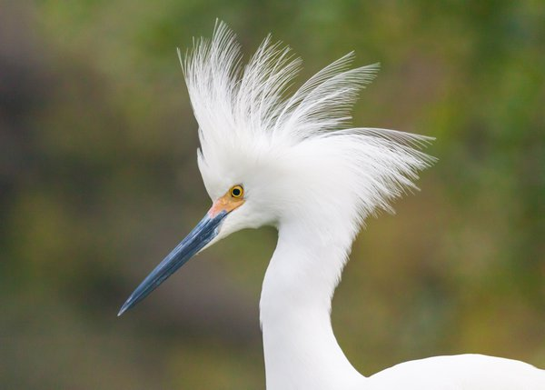 Snowy Egret in breeding plumage thumbnail