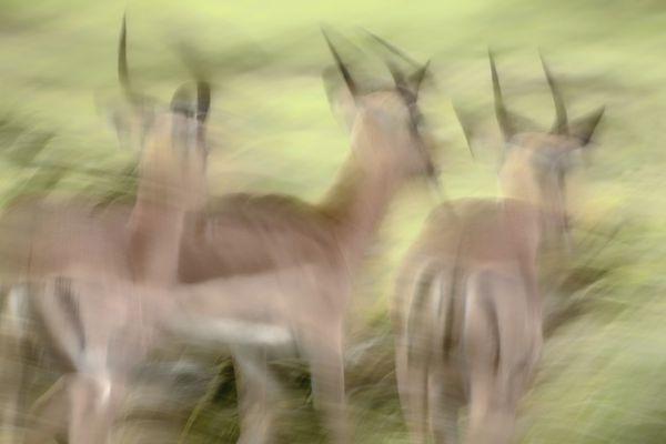 Impalas thumbnail