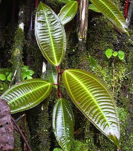 Miconia growing in Hawaii