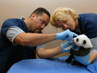 On October 8, 2013, panda cub Bao Bao is examined by Zoo staff Juan Rodriguez and Brandie Smith.