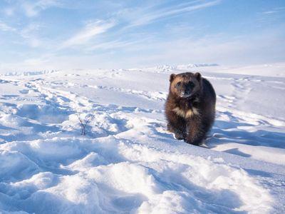 A female wolverine roams the Arctic tundra at the edge of the Brooks Range, on Alaska's North Slope.