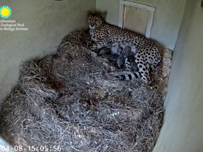 Echo, a five-year-old cheetah and first-time mother, gave birth to four cubs on April 8.