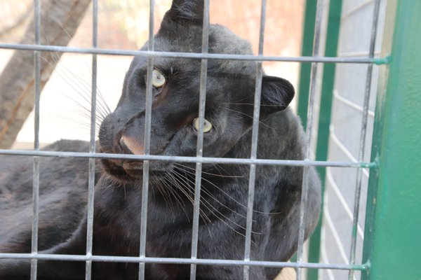 A fascinated Panther thumbnail