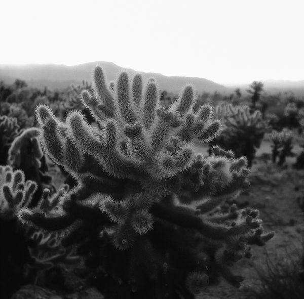 Cholla Cactus Garden thumbnail