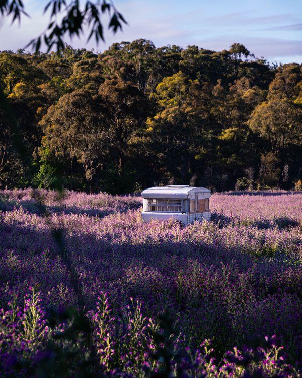 Purple Fields in Hill End thumbnail