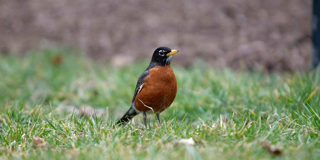 A medium-sized songbird, called an American robin, stands in the grass.