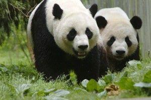 Proud Panda Parents Mei Xiang and Tian Tian