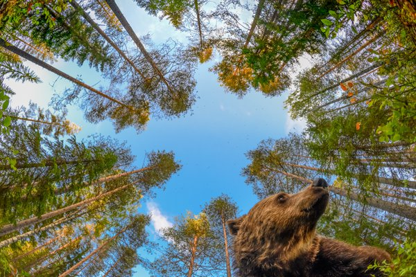 Bear forest thumbnail