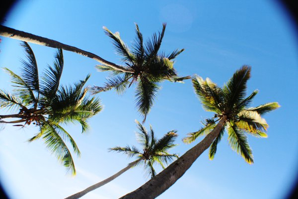 Coconut Trees thumbnail