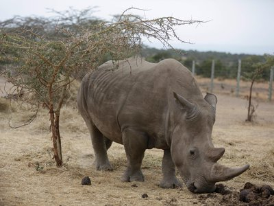 Najin, one of only two female northern white rhinos left in the world, walks in the pen where she is kept for observation.