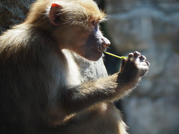 Thinking Baboon thumbnail