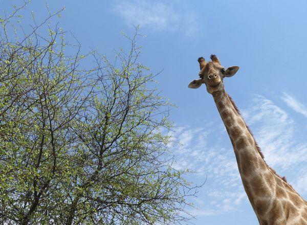 Curious Giraffe thumbnail