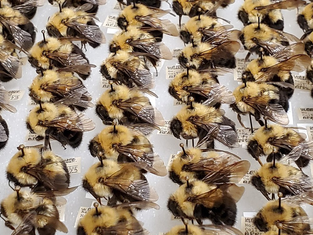 These bumblebees were part of a mass digitization project at the Smithsonian's National Museum of Natural History. Pinned underneath each bee is important information about where the bees were collected, when and by whom. (Margaret Osborne, Smithsonian Institution)