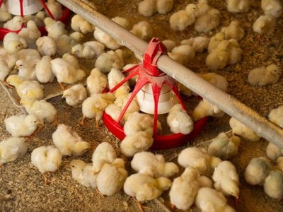 Across the globe, culling has become the default strategy for the egg industry to eliminate the unwanted hatchlings.
