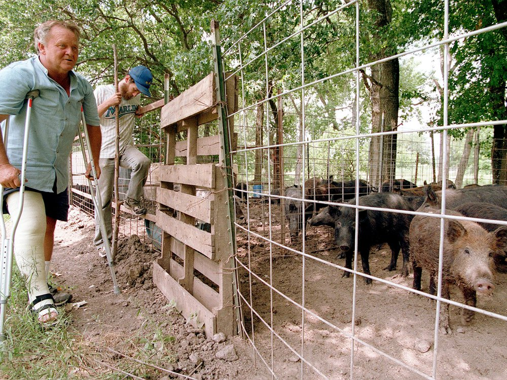 Rancher tends to feral hogs