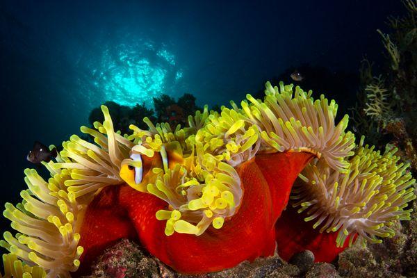 A colourful home for clown fish thumbnail