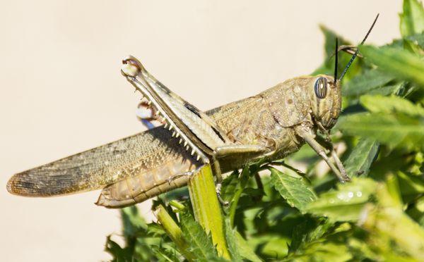 Egyptian Locust on Marigold Plant thumbnail