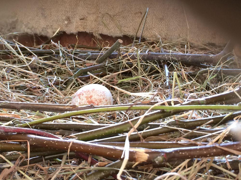 Griffon egg in nest.JPG