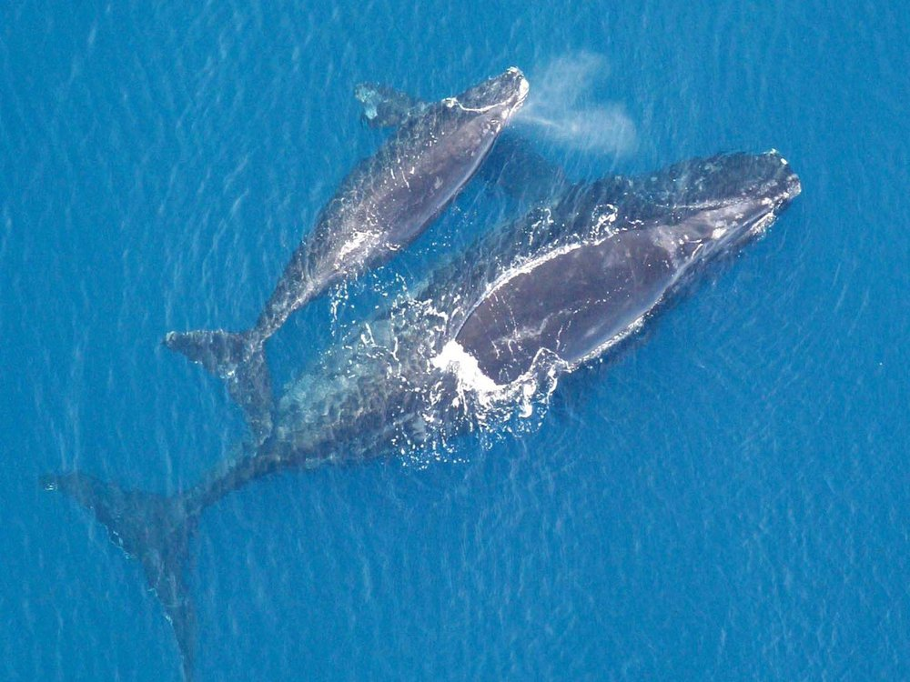 An aerial image of a North Atlantic right whale mother with their calf