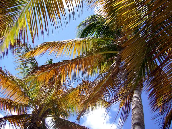 Palm trees in the wind. thumbnail