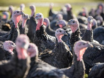 Farms have been processing their heritage turkeys earlier to keep them small.