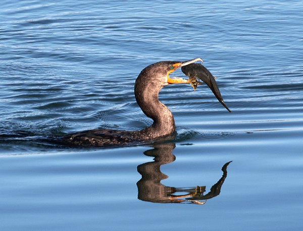 A Cormorant catching a fish in its beak thumbnail