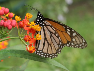 A monarch on tropical milkweed.