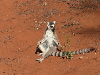 A male lemur with clearly visible scent glands on its wrists.