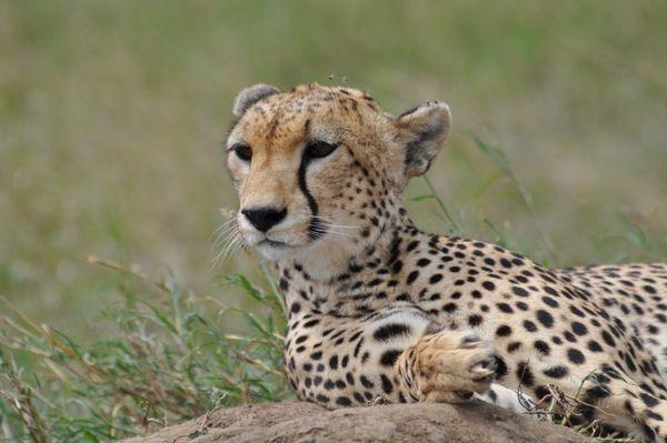 Cheetah; up close and personal thumbnail